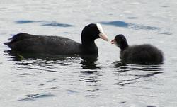 Wasservögel am See